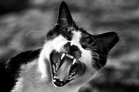 biting cat